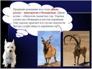 Предками домашних коз стали дикие козлы – винторогие и безоаровые. Дикие козл