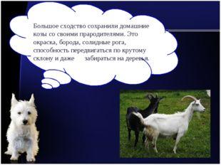 Большое сходство сохранили домашние козы со своими прародителями. Это окраска