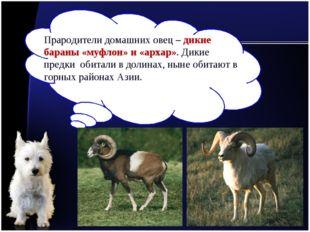Прародители домашних овец – дикие бараны «муфлон» и «архар». Дикие предки оби