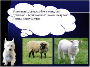 У домашних овец слабое зрение, они пугливые и беспомощные, но очень чуткие и
