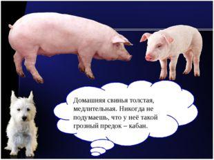 Домашняя свинья толстая, медлительная. Никогда не подумаешь, что у неё такой