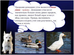 Предками домашних уток являются дикие утки – кряквы. Домашние утки весят знач