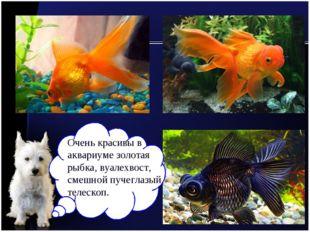 Очень красивы в аквариуме золотая рыбка, вуалехвост, смешной пучеглазый телес