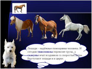 Лошади – надёжные помощники человека. И сегодня тяжеловозы перевозят грузы, а