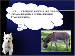 Осёл — ближайший родственник лошади. Он был одомашнен в Египте, примерно 8 т