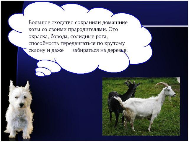 Большое сходство сохранили домашние козы со своими прародителями. Это окраска...