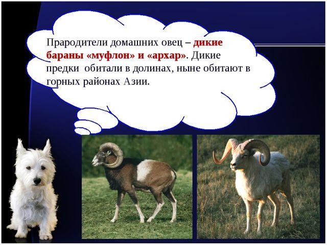 Прародители домашних овец – дикие бараны «муфлон» и «архар». Дикие предки оби...