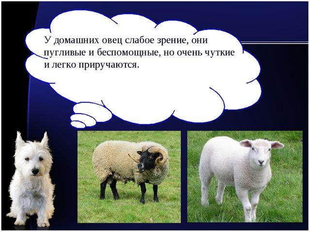 У домашних овец слабое зрение, они пугливые и беспомощные, но очень чуткие и...