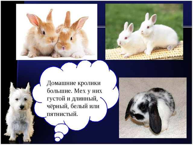 Домашние кролики большие. Мех у них густой и длинный, чёрный, белый или пятни...
