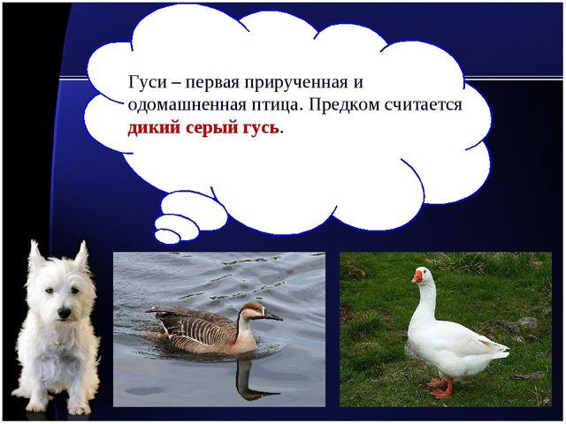 Гуси – первая прирученная и одомашненная птица. Предком считается дикий серый...