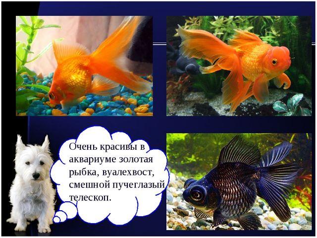 Очень красивы в аквариуме золотая рыбка, вуалехвост, смешной пучеглазый телес...