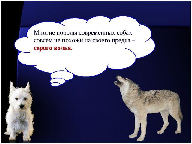 Многие породы современных собак совсем не похожи на своего предка – серого во...