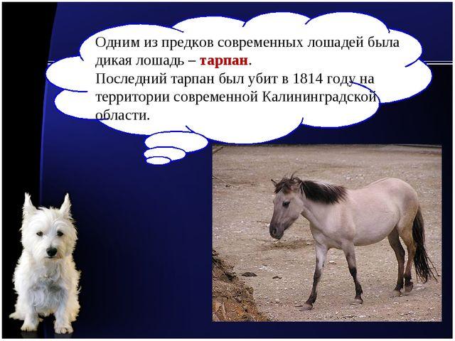 Одним из предков современных лошадей была дикая лошадь – тарпан. Последний та...