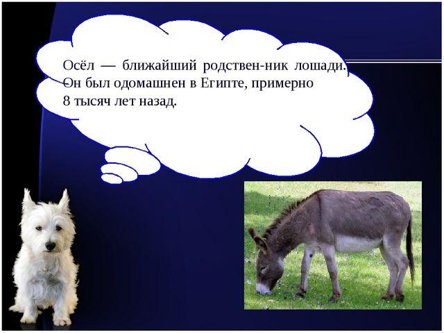 Осёл — ближайший родственник лошади. Он был одомашнен в Египте, примерно 8 т...
