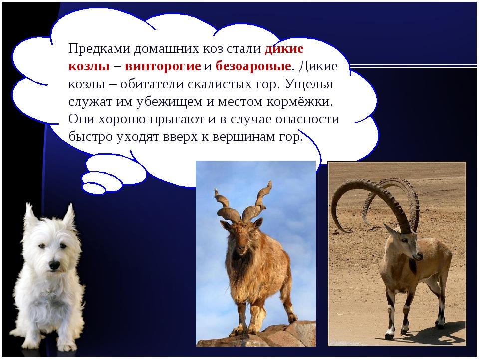 Предками домашних коз стали дикие козлы – винторогие и безоаровые. Дикие козл...