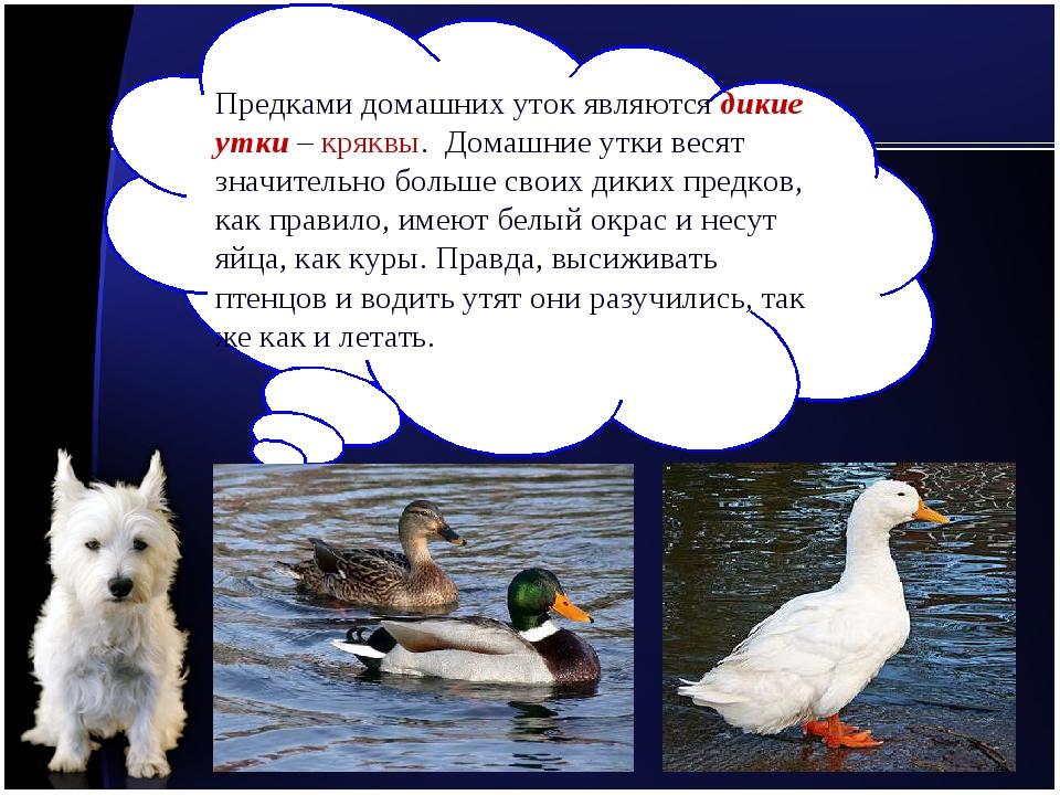Предками домашних уток являются дикие утки – кряквы. Домашние утки весят знач...