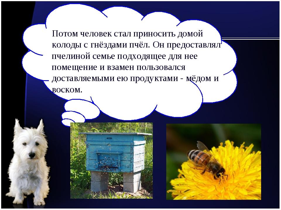 Потом человек стал приносить домой колоды с гнёздами пчёл. Он предоставлял пч...