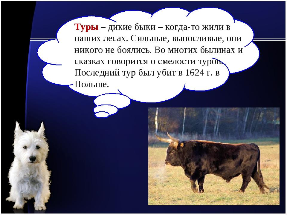 Туры – дикие быки – когда-то жили в наших лесах. Сильные, выносливые, они ник...