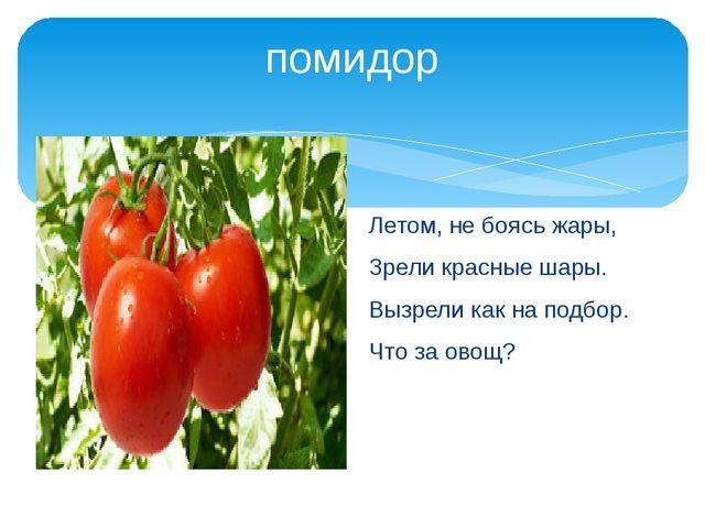 помидор Летом, не боясь жары, Зрели красные шары. Вызрели как на подбор. Что...