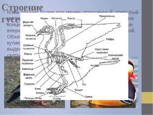 Строение гусеобразных Клюв обычно более или менее уплощенный, покрытый мягким