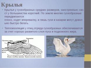 Крылья Крыльяугусеобразныхсреднихразмеров,заостренные;хвостубольшинст
