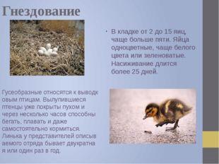 Гнездование В кладке от 2 до 15 яиц, чаще больше пяти. Яйца одноцветные, чаще