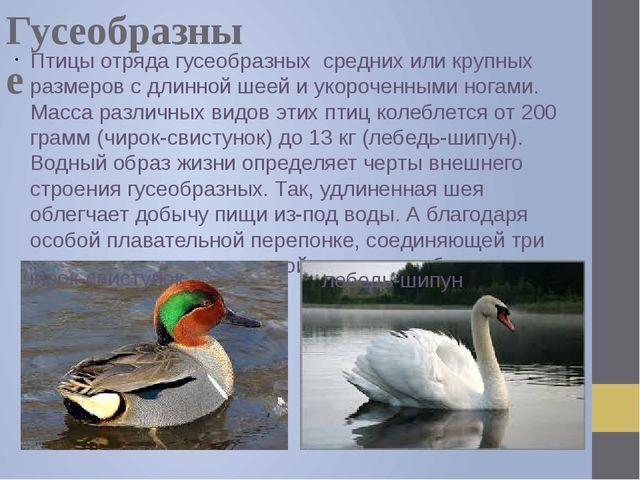 Гусеобразные Птицы отряда гусеобразных средних или крупных размеров с длинной...