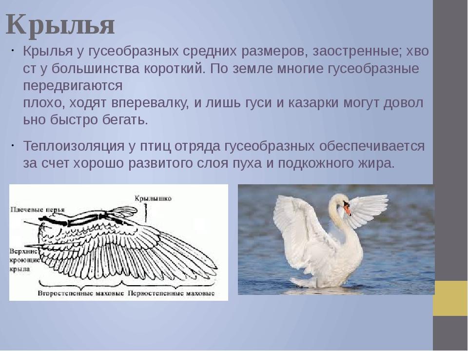 Крылья Крыльяугусеобразныхсреднихразмеров,заостренные;хвостубольшинст...