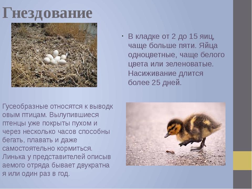 Гнездование В кладке от 2 до 15 яиц, чаще больше пяти. Яйца одноцветные, чаще...