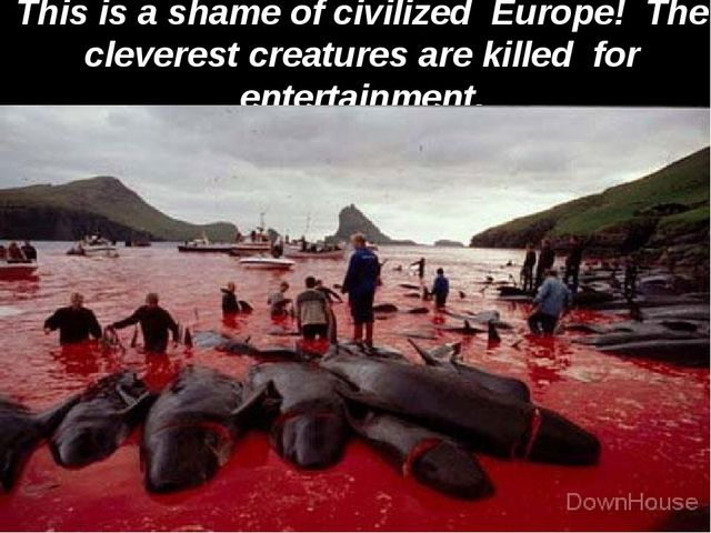 This is a shame of civilized Europe! The cleverest creatures are killed for e...