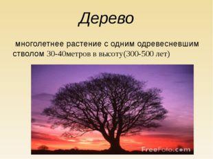 Дерево многолетнее растение с одним одревесневшим стволом 30-40метров в высот