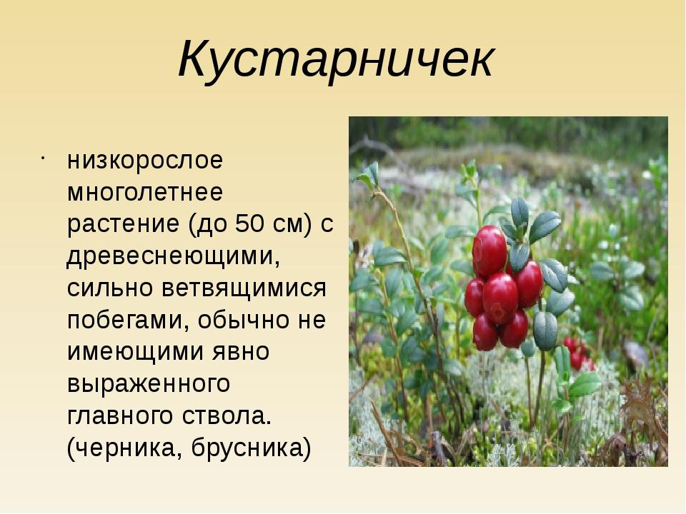 Кустарничек низкорослое многолетнее растение (до 50 см) с древеснеющими, силь...