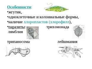 Особенности: жгутик, одноклеточные и колониальные формы, наличие хлоропластов