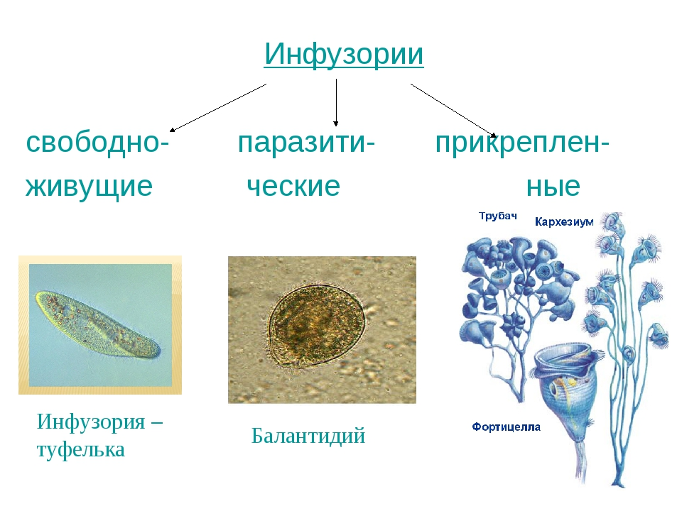 Инфузории свободно- паразити- прикреплен- живущие ческие ные Балантидий Инфуз...