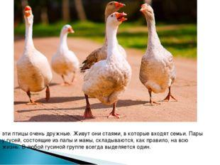 эти птицы очень дружные. Живут они стаями, в которые входят семьи. Пары у гус