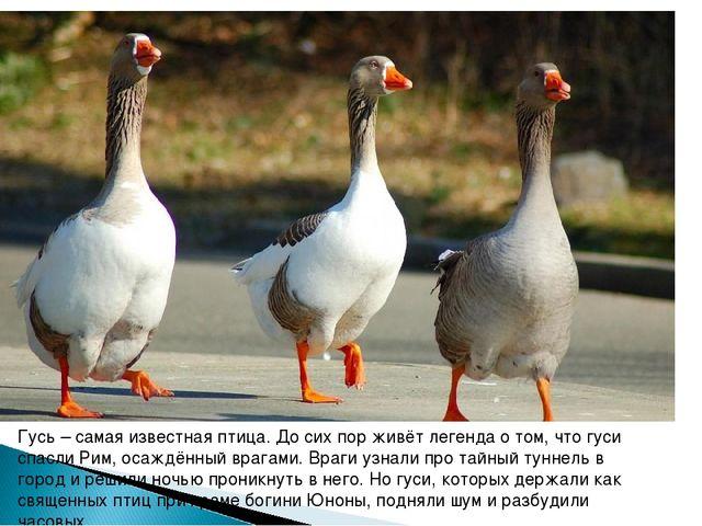 Гусь – самая известная птица. До сих пор живёт легенда о том, что гуси спасли...