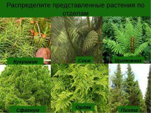 Распределите представленные растения по отделам Кукушкин лен Сфагнум Сосна Ор