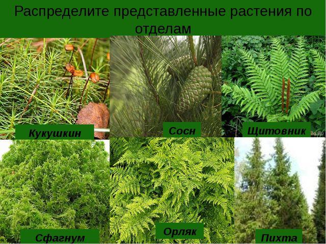 Распределите представленные растения по отделам Кукушкин лен Сфагнум Сосна Ор...