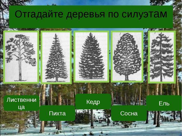 Отгадайте деревья по силуэтам Лиственница Пихта Кедр Сосна Ель