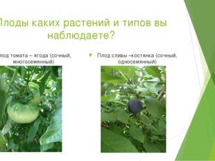 Плоды каких растений и типов вы наблюдаете? Плод томата – ягода (сочный, мног