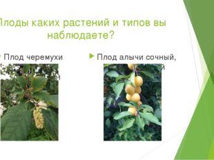 Плоды каких растений и типов вы наблюдаете? Плод черемухи сочный, односемянны