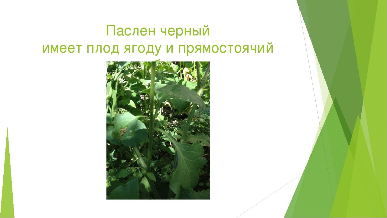 Паслен черный имеет плод ягоду и прямостоячий стебель