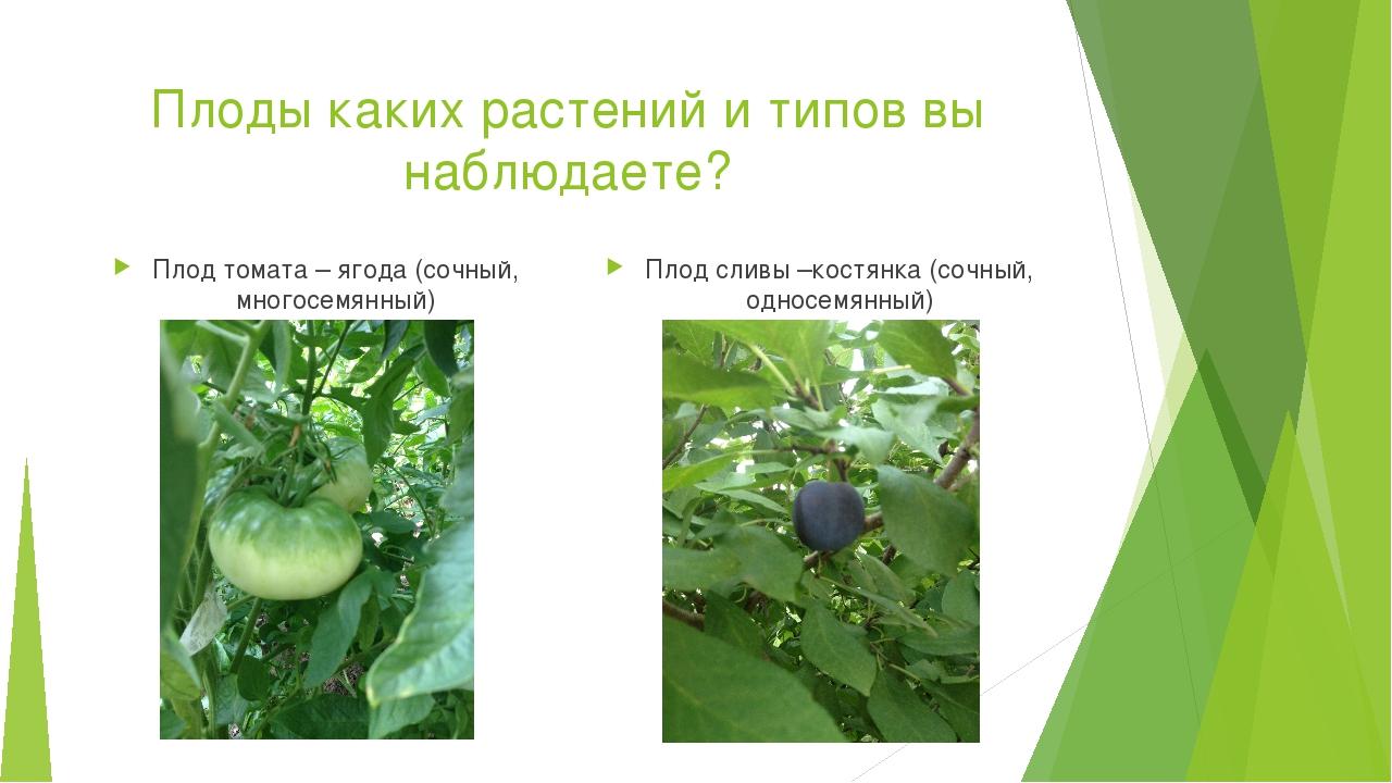 Плоды каких растений и типов вы наблюдаете? Плод томата – ягода (сочный, мног...