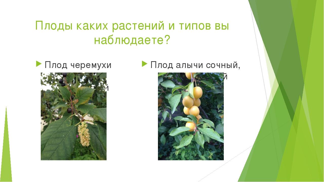Плоды каких растений и типов вы наблюдаете? Плод черемухи сочный, односемянны...