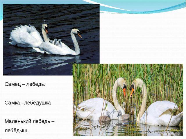 Самец – лебедь. Самка –лебёдушка Маленький лебедь – лебёдыш.