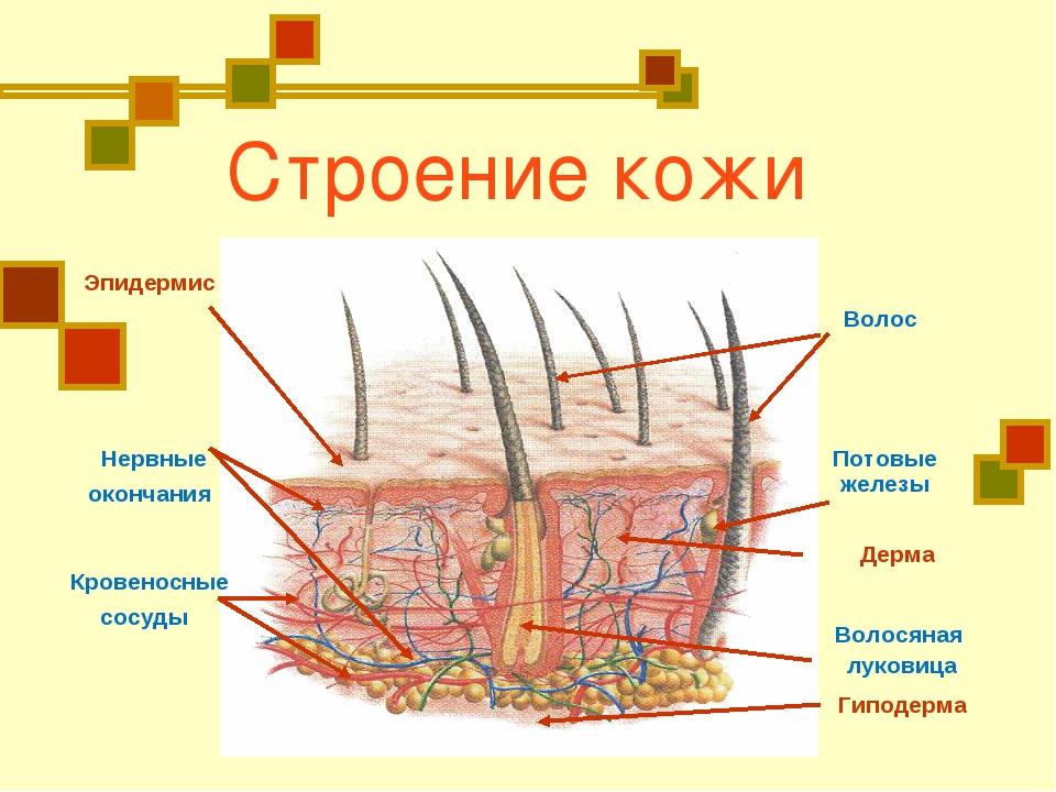 Строение кожи Эпидермис Волос Волосяная луковица Нервные окончания Кровеносн...