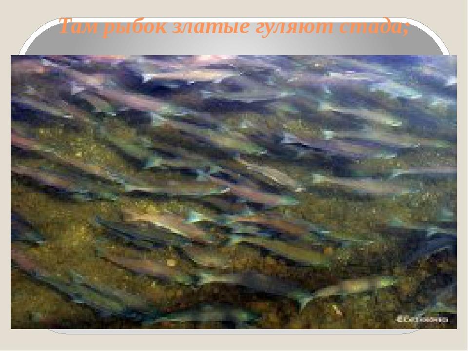 Там рыбок златые гуляют стада;