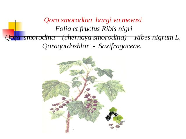 Qora smorodina bargi va mеvasi Folia et fructus Ribis nigri Qora smorodina (c...