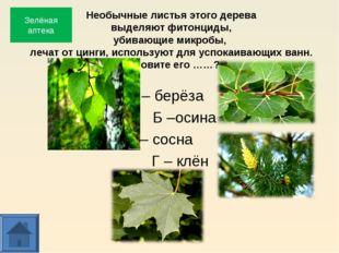 Необычные листья этого дерева выделяют фитонциды, убивающие микробы, лечат от