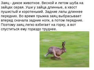 Заяц - дикое животное. Весной и летом шуба на зайцах серая. Уши у зайца длинн